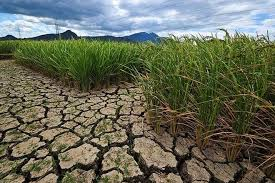 Rice Drought King Thailand New Theory Permaculture