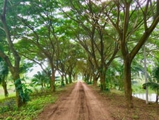 Rain tree alley at Rak Tamachat
